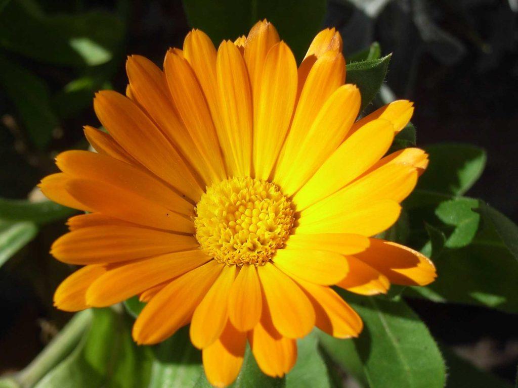 Die Ringelblume